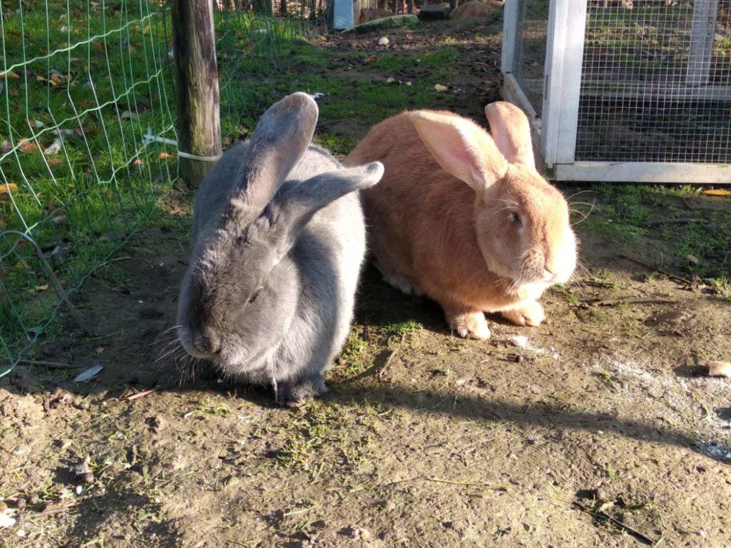 Dieven weg met konijnenhok inclusief twee Vlaamse reuzen