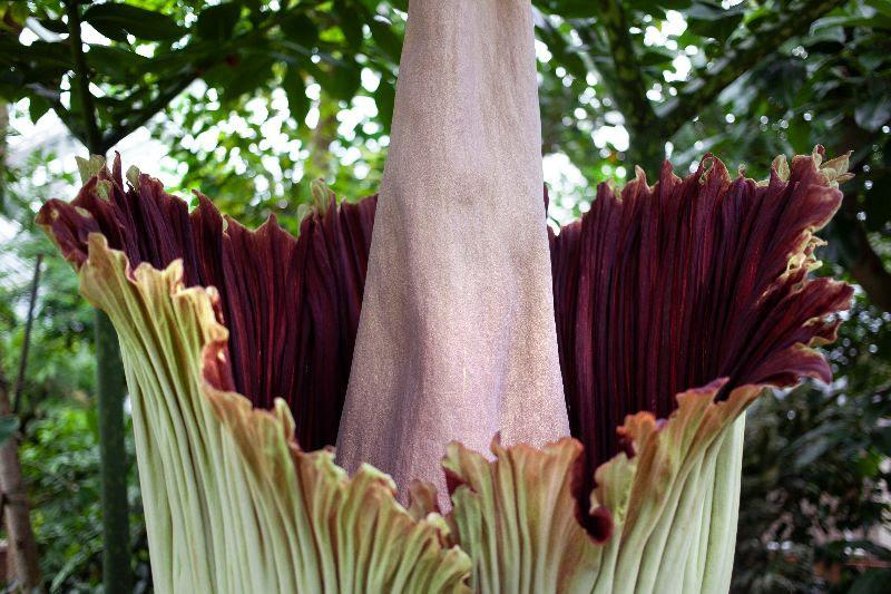 Alweer reuzenaronskelk in bloei in Plantentuin